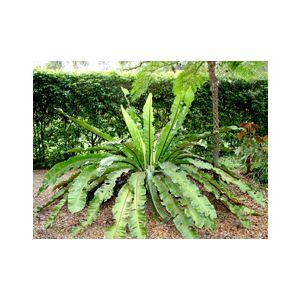 Asplenium nidus (A. nidus-avis)