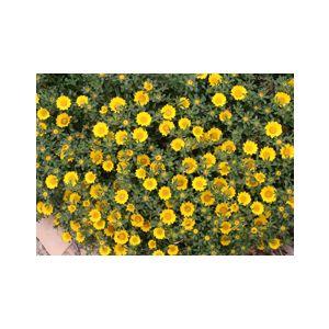 Asteriscus maritimus (Odontospermum maritimum)