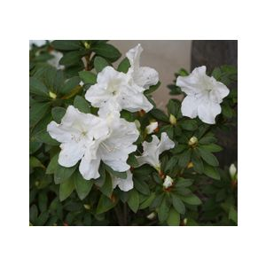 Azalea 'Fielder's White' Patio Tree - Monrovia