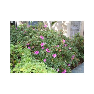 Azalea 'Formosa' ('Coccinea')('Phoenicia')('Vanessa')