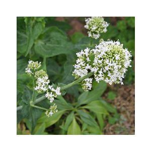 Centranthus ruber 'Albus' (Valeriana rubra)