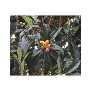 Eriobotrya japonica Multi