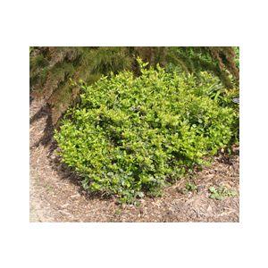 Jasminum angulare