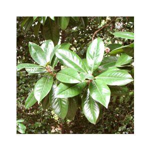 Magnolia grandiflora Standard