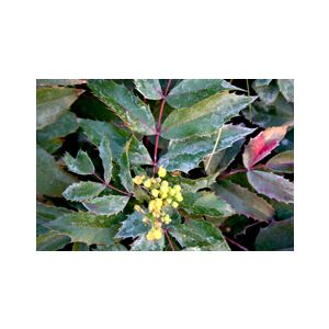 Mahonia aquifolium 'Compacta' (Berberis a.)