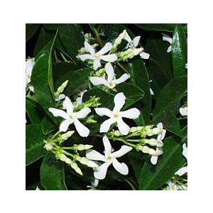 Trachelospermum jasminoides Espalier (Rhynchospermum)