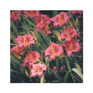 Hemerocallis 'Little Bobo'