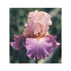 Iris germanica 'Sweet Musette'