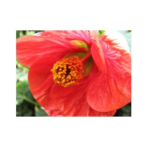 Abutilon hybrid 'Red' Patio Tree