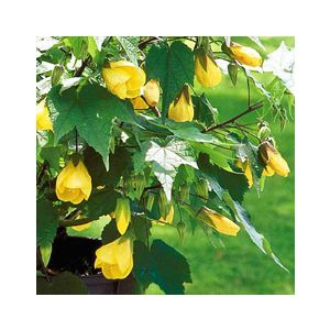 Abutilon hybrid 'Yellow'