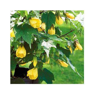 Abutilon hybrid 'Yellow'