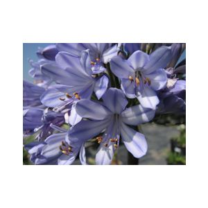 Agapanthus 'Queen Anne'
