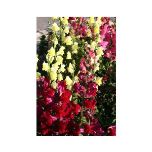 Antirrhinum majus Dwarf 'Assorted Varieties'