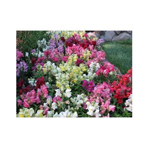 Antirrhinum majus Dwarf 'Mixed Colors'