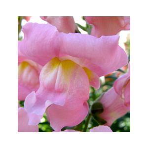 Antirrhinum majus Dwarf 'Pink'