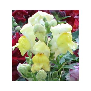 Antirrhinum majus Medium 'Yellow'