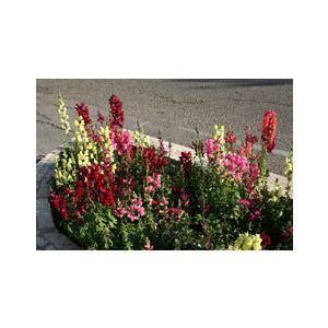 Antirrhinum majus Medium 'Mixed Colors'