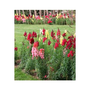 Antirrhinum majus Medium 'Assorted Varieties'