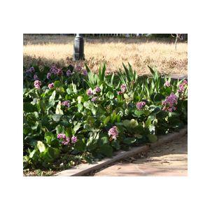Bergenia cordifolia (Saxifraga c.)