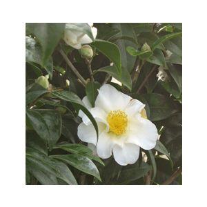 Camellia japonica 'Silver Waves' - Monrovia