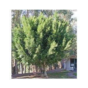 Ficus microcarpa nitida Standard (F. retusa)