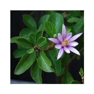Grewia occidentalis Espalier (G. caffra)