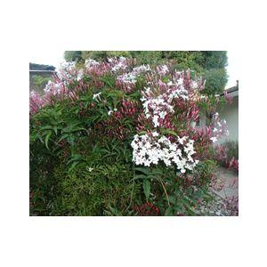 Jasminum polyanthum Espalier