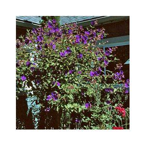 Tibouchina urvilleana (Pleroma splendens)(T. semidecandra)