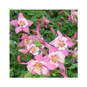 Aquilegia 'Assorted Varieties'