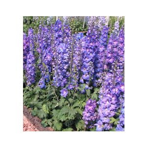 Delphinium elatum 'Assorted Varieties'