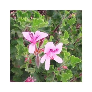 Pelargonium 'Scented Assorted Varieties'