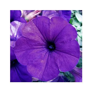 Petunia grandiflora 'Blue Violet'