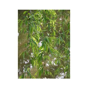 Salix babylonica Standard