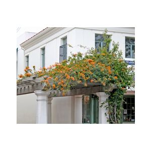 Bougainvillea 'California Gold' Espalier ('Sunset')
