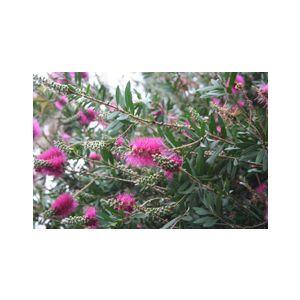 Callistemon citrinus 'Jeffersii' ('Violaceus')(C. lanceolatus)