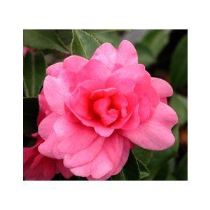 Camellia sasanqua 'Assorted Varieties' - Monrovia