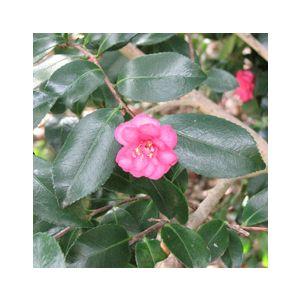 Camellia sasanqua 'Assorted Varieties' Patio Tree