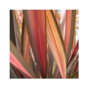 Phormium 'Flamingo' ('Maori Sunrise')