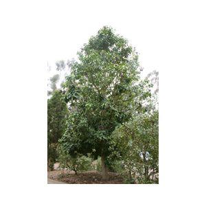 Brachychiton acerifolius Standard (Sterculia acerifolia)