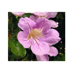 Clytostoma callistegiodes Espalier (Bignonia violacea) (Bignonia speciosa)