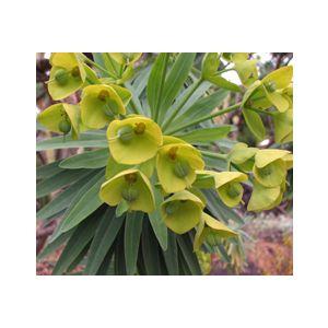 Euphorbia lambii