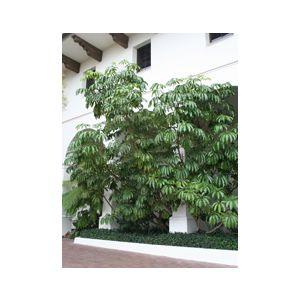 Tupidanthus calyptratus (Schefflera pueckleri)