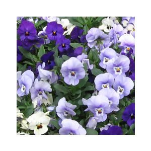 Viola cornuta 'Assorted Varieties'
