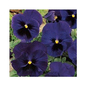 Viola x wittrockiana Majestic Giant 'Blue'
