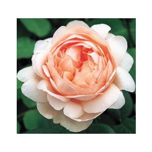 Rosa 'Ambridge Rose'