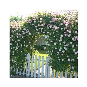 Rosa 'Assorted Varieties' Climbing
