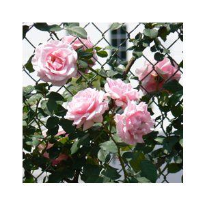 Rosa 'Assorted Varieties' Espalier