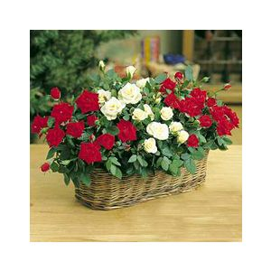 Rosa 'Assorted Varieties' Miniature