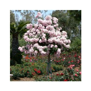 "Rosa 'Assorted Varieties' 18"" Patio Tree"