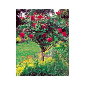 "Rosa 'Assorted Varieties' 24"" Patio Tree"